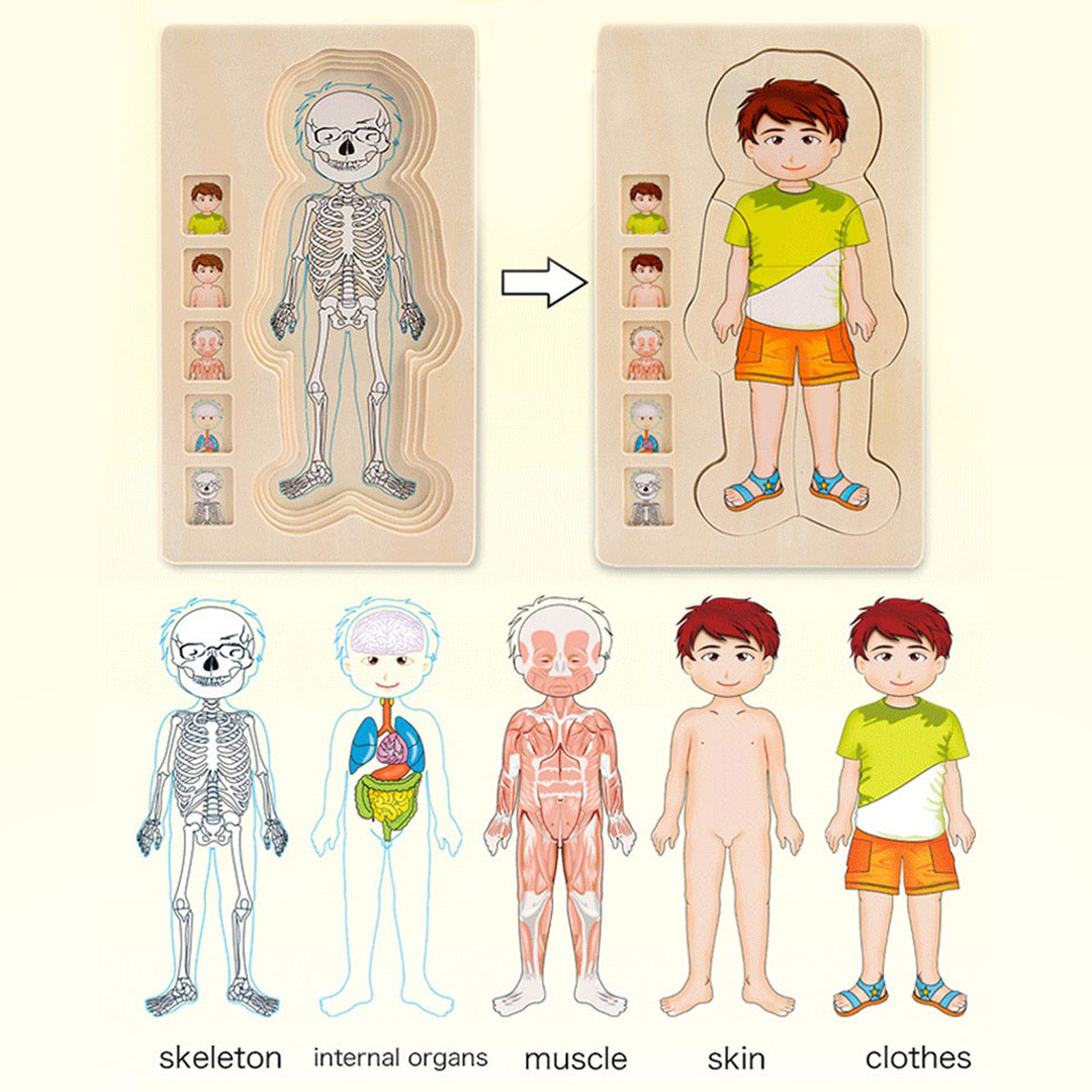 do corpo, músculos do gênero, corpo da